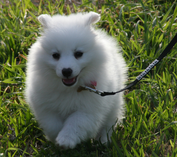 White American Eskimo puppy on a walk.PNG