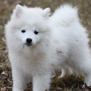 White American Eskimo puppy playing in dirt.PNG