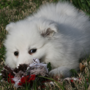 White American Eskimo puppy playing with its dog toy on the grass.PNG