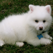 White fury American Eskimo puppy pictures.PNG