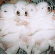 Young American Eskimo puppy breeders.PNG