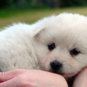 Young American Eskimo puppy photos.PNG