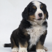 Bernese Mountain Puppy posting picture.PNG