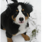 Bernese Mountain Puppy on the snow looking straight up to the camera.PNG