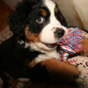 Bernese Mountain Puppy playing with its colorful dog toy.PNG