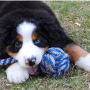 Bernese Mountain Puppy playing with its toy on the grass.PNG