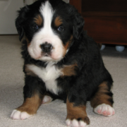 Bernese Mountain Puppy posting looking so cute.PNG