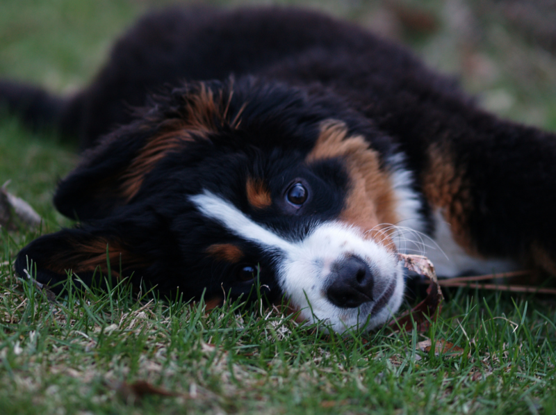 Bernese Mountain Puppy rolling on the grass.PNG