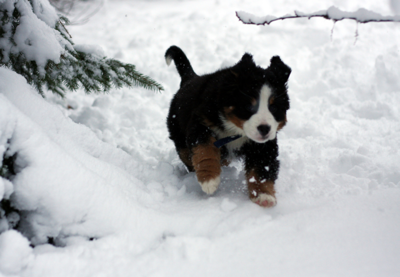 Bernese Mountain Puppy running in thick snow.PNG