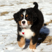 Bernese Mountain Puppy running on the snow in the sun.PNG