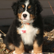 Bernese Mountain Puppy standing in snow with full sunshine.PNG