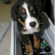Bernese Mountain Puppy standing inside a beer cooler.PNG