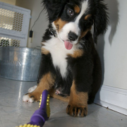 Bernese Mountain Puppy with its purple yellow dog toy in front.PNG