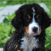 Bernese Mountain Puppy with wet fur.PNG