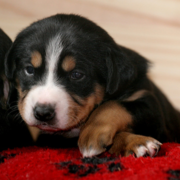 Bernese mountain puppys.PNG