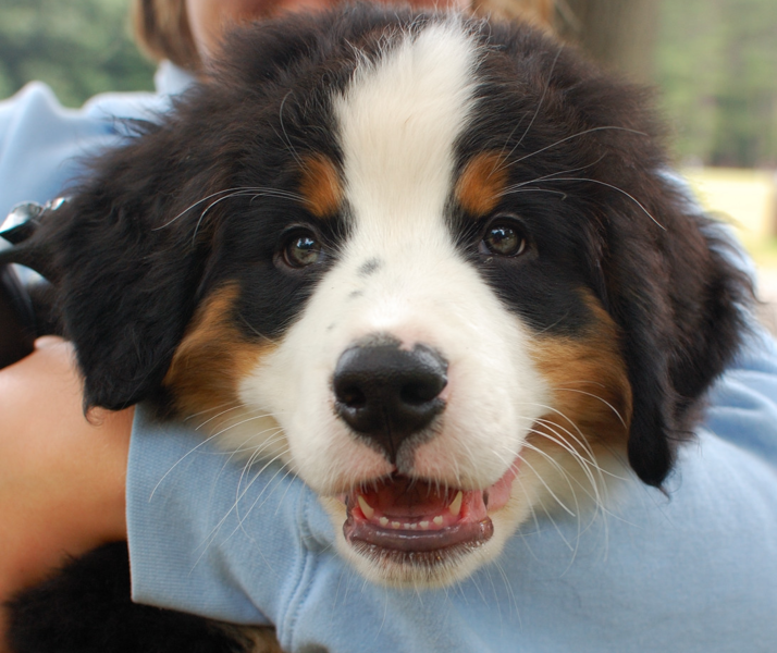 Bernese puppy face close up picture looking straight to the camera.PNG