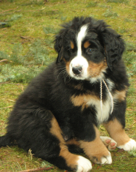 Bernese Puppy picture.PNG