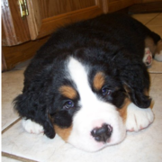 Big Bernese Mountain Puppy looking straight to the camera.PNG