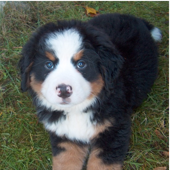 Big fury Bernese Mountain Puppy images.PNG