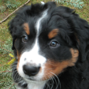 Close up photo of Bernese Mountain Pup.PNG