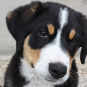 Close up picture of Bernese Mountain Puppy face.PNG