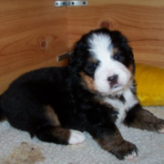 Cute Bernese Mountain Pup photo.PNG
