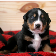 Cute Bernese Mountain Puppy photo.PNG