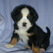 Cute young Bernese Mountain Pup picture posting to the camera.PNG