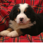 Fury Bernese Mountain Pup pic.PNG