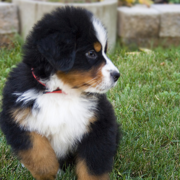 Fury Bernese Mountain Puppy running on the grass.PNG
