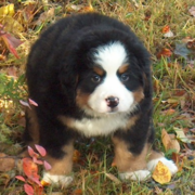 Fury chubby Bernese Mountain Puppy looks like a small bear.PNG