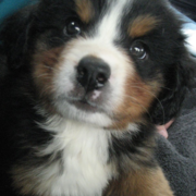 Image of Bernese Mountain Puppy picture.PNG
