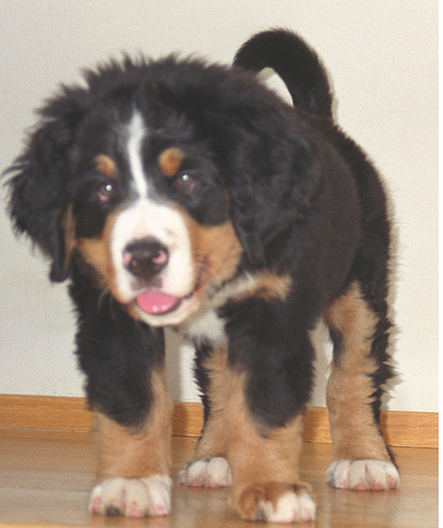 Images of Bernese Mountain Pup.PNG