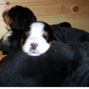 New puppies Bernese Mountain dog sleeping on top of each other looking so adorable.PNG