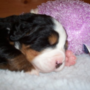 Newborn Bernese Mountain Puppy sleeping next to its purple dog toy.PNG