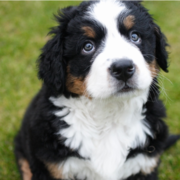 Pciture of a beautiful Bernese Mountain Puppy looking up.PNG