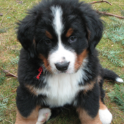 Photo of Bernese Mountain Puppy posting to the camera.PNG