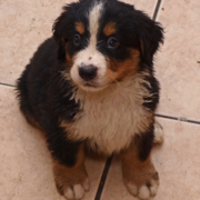 Picture of a wet Bernese Mountain Puppy looking up to the camera.PNG