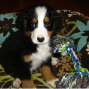 Picture of Bernese Mountain Puppy with its toy.PNG
