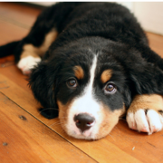 Picture of Bernese puppy on wood floor.PNG