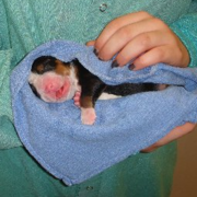 Picture of newborn Bernese Mountain Puppy wrapped in towl.PNG