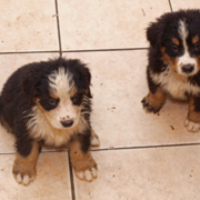 Picture of two wet Bernese Mountain Puppies.PNG