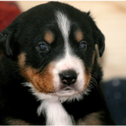 Picture of young pup bernese mountain dog.PNG