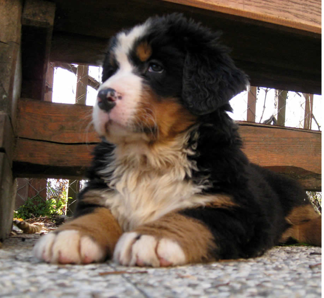 Posting picture of a Bernese Mountain Puppy dog.PNG