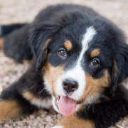 Pretty Bernese Mountain Puppy picture.PNG
