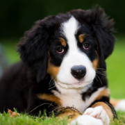 Pretty Bernese Mountain Puppy posting on the grass.PNG