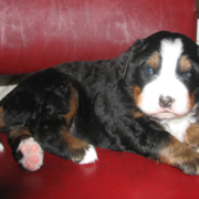 Serious looking young Bernese Mountain Puppy on a red leather chair.PNG