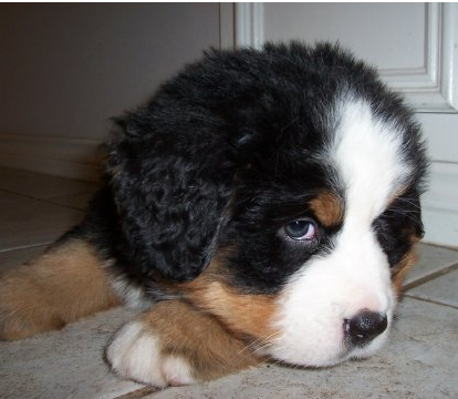 Small cute Bernese Mountain Puppy with white fur on the head.PNG