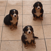 Three wet Bernese Mountain Puppies image.PNG