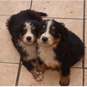 Two wet Bernese Mountain Puppies standing close to each other posting to the camera.PNG
